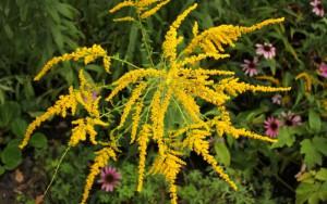 Ambroisie en fleur
