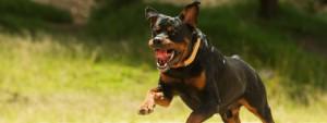 Réglementation chiens dangereux Satolas-et-Bonce