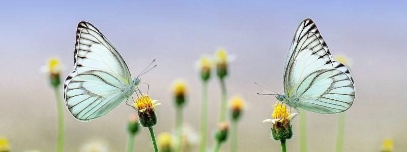 Papillons Satolas-et-Bonce